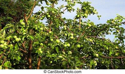 jardin, arbre, pommes vertes