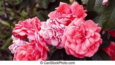 jardin, couleur, filtre, image, backlit, quatre, roses, colorisé, vendange
