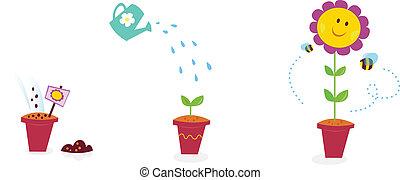 jardin fleur, tournesol, -, croissance, étapes