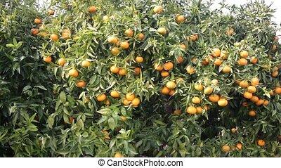 jardin, mûre, mandarines, branche