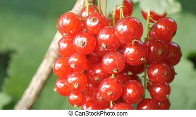 jardin, mûre, pendre, buisson, groseille, baies, rouges