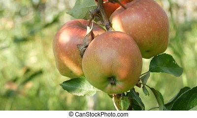 jardin, mûre, pommes, branche, pendre, rouges