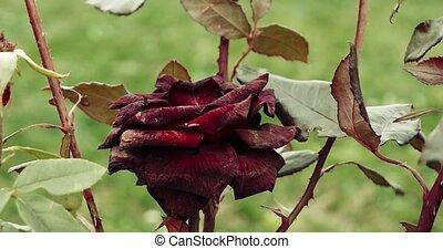jardin, mort, automne, mood., vendange, couleur chute, triste, sombre, foyer, sélectif, plante, rose, rouges