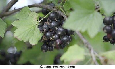 jardin, noir, buisson, haut, groseille, fin, baies