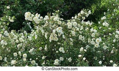 jardin, roses, mouvement, blanc, vidéo, vent, sauvage, 4k