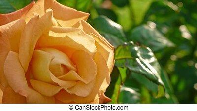 jaunâtre, prise vue., jardin, dci, rose, floraison, haut, jaune, buisson, fleur, 4k, fleurir, tendre, fin, botanique