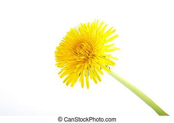 jaune, officinale, pissenlit, white., taraxacum, fleur