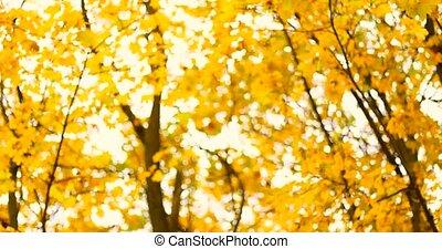jaune, temps, brouillé, vaciller, feuilles, fond, season., arbres., automne, fort, vue, sous, froid, érable, vent, arbres, bokeh., automne