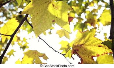 jaune, vent, feuilles, en mouvement