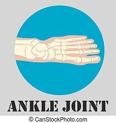 joint cheville, emblème, humain