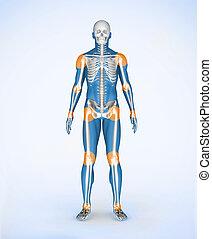 joints, bleu, numérique, squelette