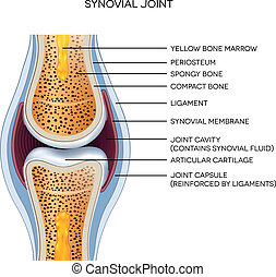 jointure, étiqueté, anatomy., illustration., normal