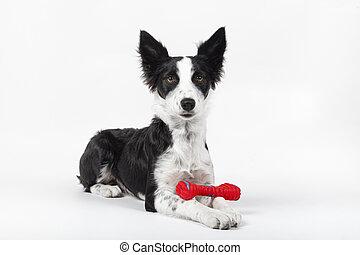 jouer, arrière-plan., family., membre, soucier, nouveau, adorable, blanc, concept, portrait, os, animaux, chiot, chien jouet, mignon, animaux familiers