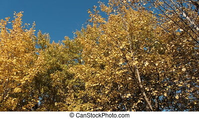 jour, doré, autumn., jaune, arbres, ensoleillé, vent, automne, vaciller, feuilles