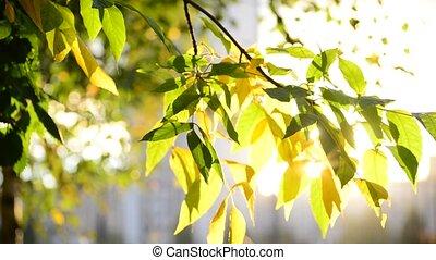 jour, feuilles, ensoleillé, érable, automne, beau