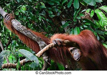 jungle., orang-outan