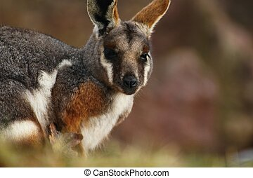 kangourou, yellow-footed, rock-wallaby