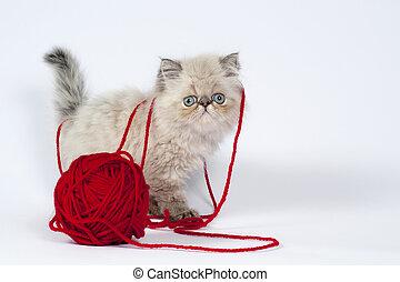 kitten., persan