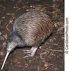kiwi, recherche