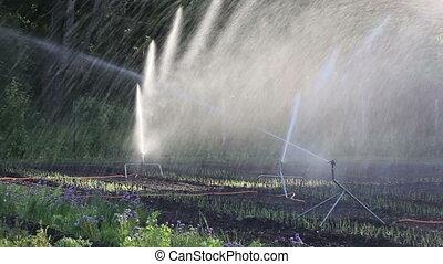 légumes, irrigation