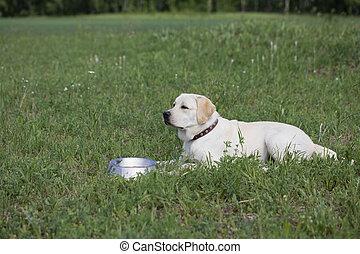 labrador, bol, eat., prêt, chien, attente, affamé, nourriture, permission
