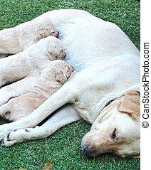 labrador, chien, breast., mère, chiots, lait, sucer