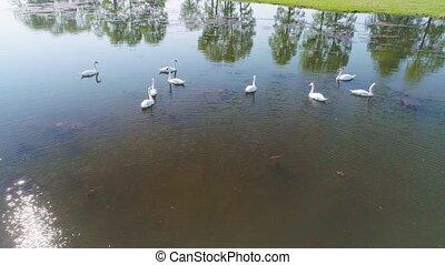 lac, aérien, blanc, vidéo, cygnes, sauvage