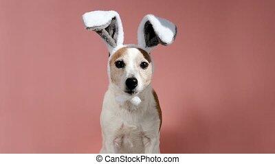 lapin, mignon, oreilles, studio, chien