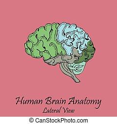 latéral, main, brain., humain, dessiné, coloré, vue