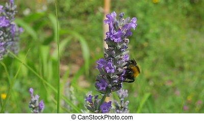 lavande, abeille