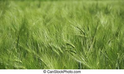 lent, blé, spikelets, jeune, mouvement, vert, field.