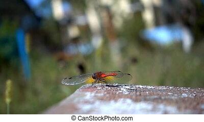 lent, dragon, mouvement, fly., rouges, mouvement