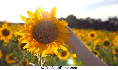 lent, flamme, été, fin, champ, toucher, ensoleillé, haut, jaune, arrière-plan., girl, day., bras, main, pré, fleur, caresse, mouvement, tournesol, beau, concept., femme, soleil