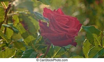 lent, rose, mouvement, en mouvement, rouges, frais, vent
