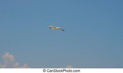 lentement, soars, deux, toile de fond, sky., clair, headwind, mouette, essor, ciel, glissement, bleu, trends., voyage, mouettes, utilisation, contre