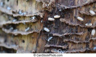 leur, bois, en mouvement, larves, fourmis