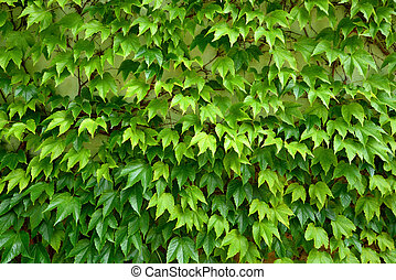 liane, feuilles, texture, arrière-plan vert, frais, lierre