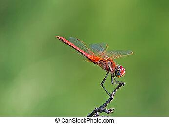 libellule, closeup, rouges