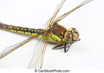 libellule, stripey, haut, arrière-plan vert, fin, blanc