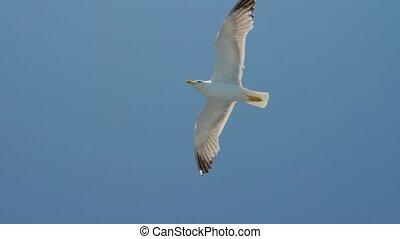 liberté, high., mouette, concept., animal, bleu, sauvage, voyage, idea., sky., naturel, clair, vivant, oiseau, environnement, voler