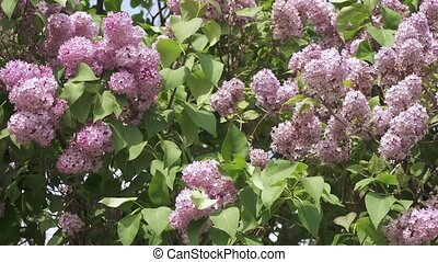 lilas, fleurir, buisson