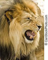 lion, rugir, gros plan