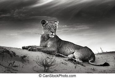 lionne, désert, dune