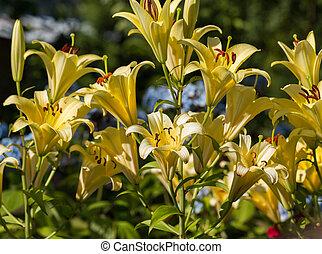 lis, jardin fleur, jaune
