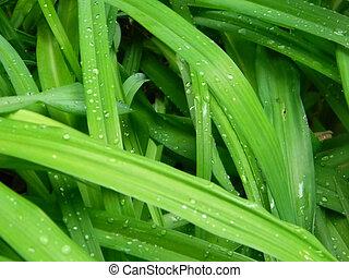 lis, pousse feuilles, pluie, jour