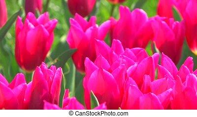 lit, mouvementde va-et-vient, tulipes, fleur rose
