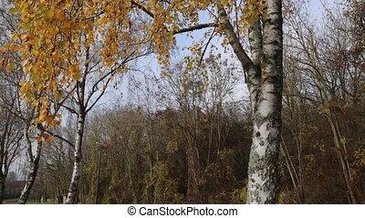 long, bouleau, arbres automne, bord route