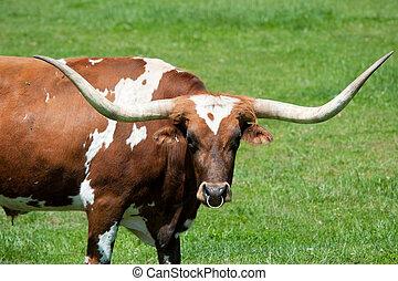 longhorn, taureau