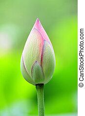 lotus, bourgeon