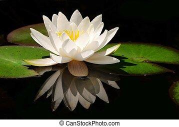 lotus, fleur blanche